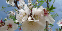 Flower:Almond