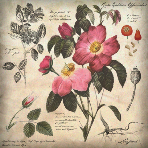 File:Botanical Illustration.png