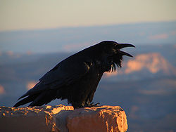File:Common Raven.jpg