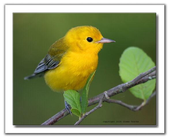 File:Yellow Finch.jpeg