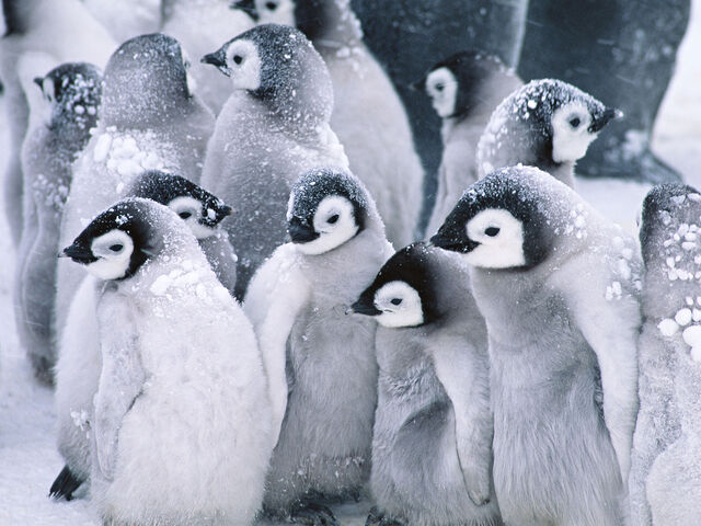 File:Cute Arctic Penguins.jpg