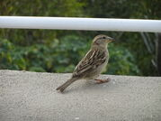 Spanish sparrow female