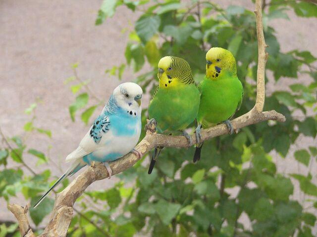 File:Parakeets.jpg
