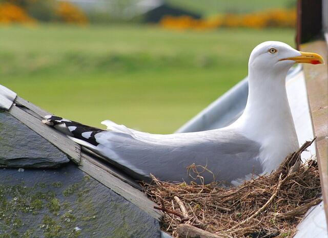 File:Nesting+Herring+Gull-2259.jpg