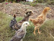 Growing Chick-chicks (2011)