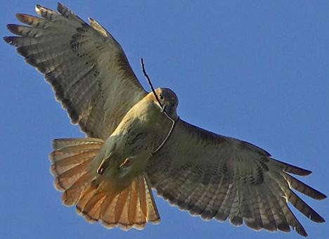 File:Gspan-wings-spread-central-park-new-york-city-nyc-sky-nature-wildlife-animal-raptor-bird-of-prey-feathers-tail-nesting-stick-beak-fly-flight-photo-1-.jpg