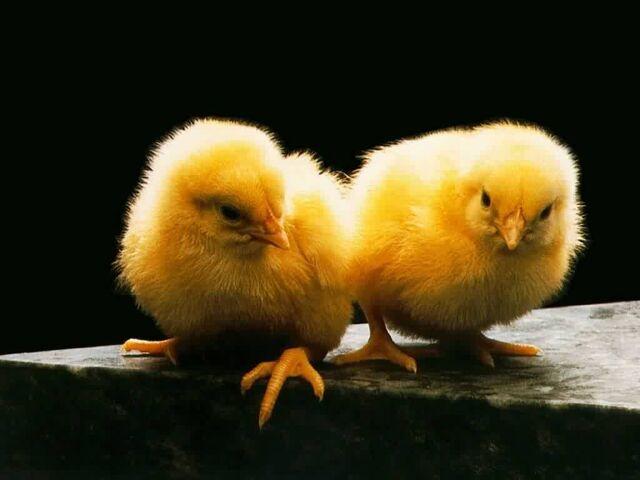 File:Chickies.jpg