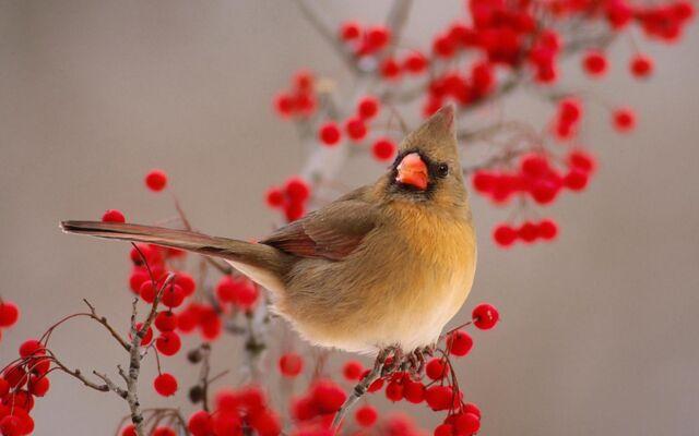 File:Female Cardinal.jpg