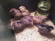 Baby Chickies (2012)
