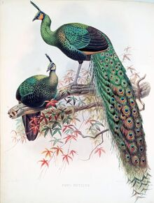 Green peacock and peahen