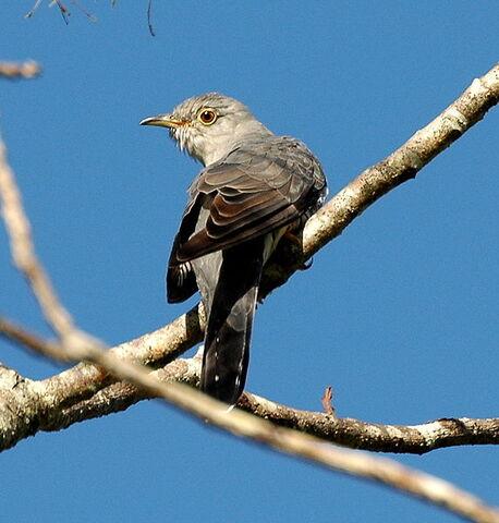 File:Oriental Cuckoo Maiala.JPG