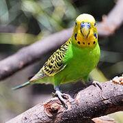 220px-Melopsittacus undulatus -Fort Worth Zoo-8a-4c