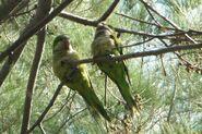 Parakeet couple
