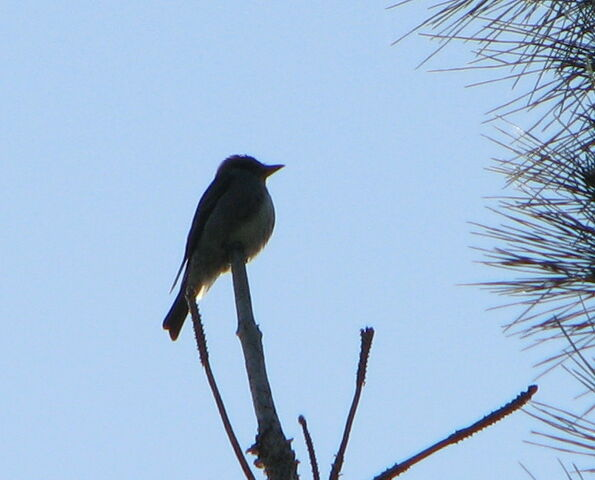 File:Olive-sided+Flycatcher-5270.jpg