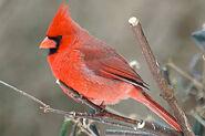 Red cardinal-bird