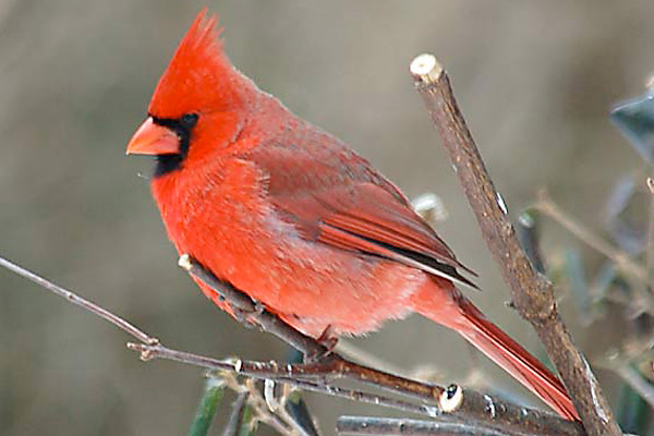 File:Red cardinal-bird.jpg
