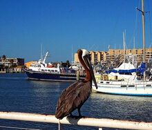 Brown Pelican on rail of boat we went fishing on - Port Aransas, TX