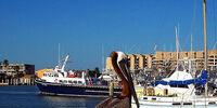Brown Pelican of Louisiana