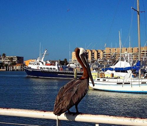 File:Brown Pelican on rail of boat we went fishing on - Port Aransas, TX.jpg