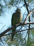 Monk parakeet 2