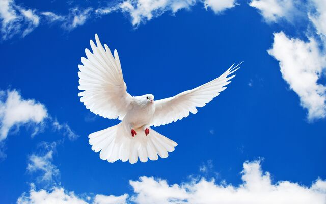File:White Dove.jpg