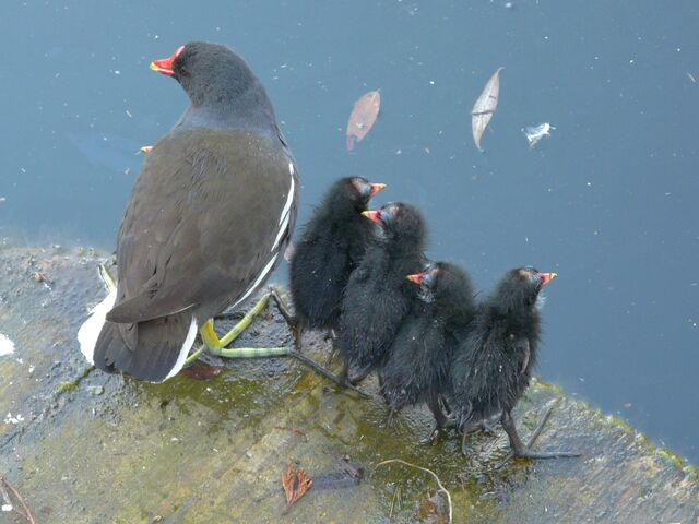 File:Moorhen+and+chicks+on+Albion+Channel-5464.jpg
