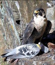 Falco piccione
