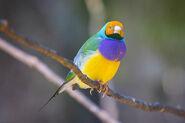 Gouldian Finch @ Jurong Bird Park