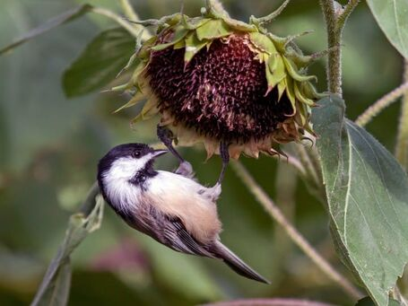 File:Black capped chickadee.jpg