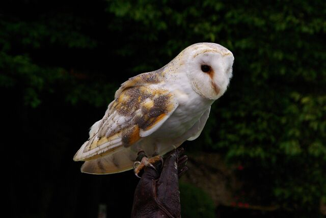 File:Barn+owl-2010.jpg
