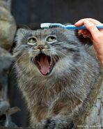Pallas Cat1