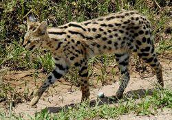Servalspots1111