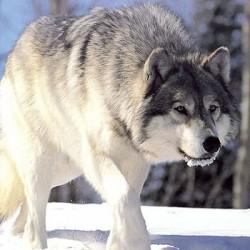 File:Wolf2gpa.jpg