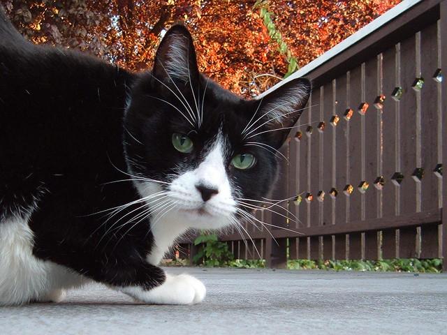 File:Tuxedo cat.jpg