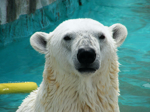 File:Polar Bear @ Higashiyama Zoo.jpg