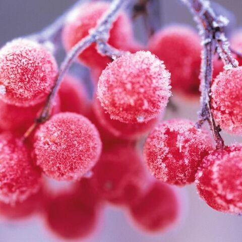 File:Frostberries.jpeg