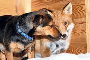 Dog-fox 1819059i