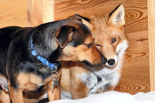 File:Dog-fox 1819059i.jpg