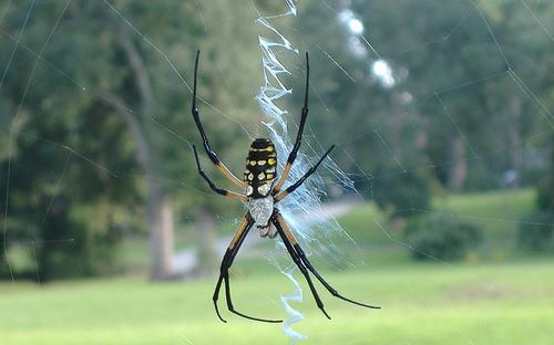 File:Banana spider.jpg