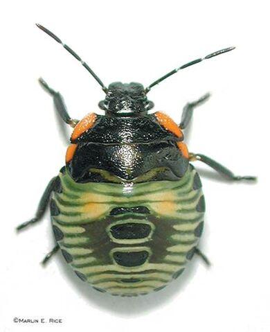 File:Green stink bug nymph.jpg