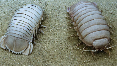Giant Isopods