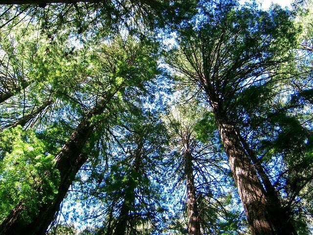 檔案:Muir Wood10.jpg