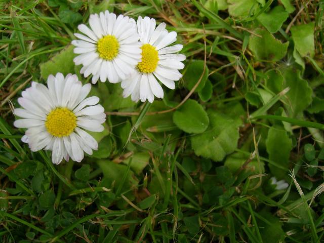 File:Bellis perennis daisy.jpg