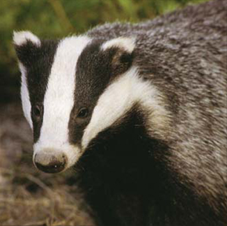 File:Badger 1.jpg
