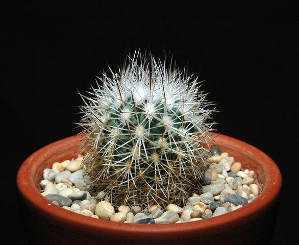 File:Turbinicarpus beguinii100.jpg