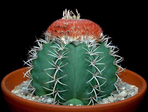 File:Melocactus matanzanus100.jpg