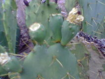 Unknown Opuntia