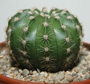 Echinopsis oxygona0