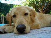 Labrador Brasileiro.jpg