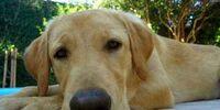 Labrador Brasileiro
